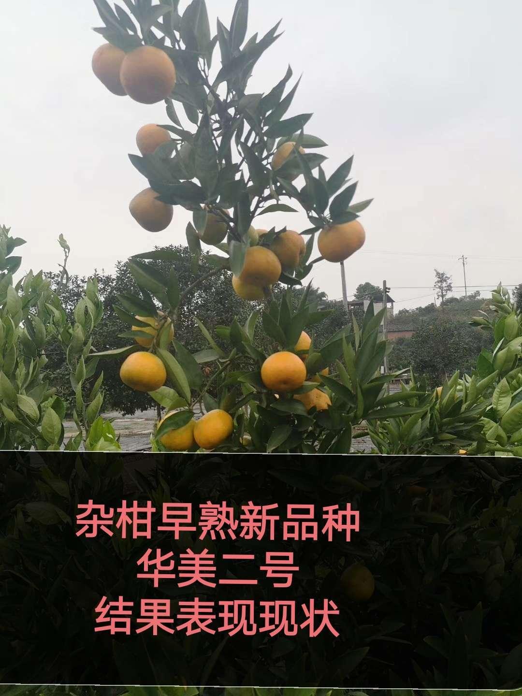 """""""小个头,大市场""""为何说华美2号将占一席之地 其他柑橘新品种 第2张"""