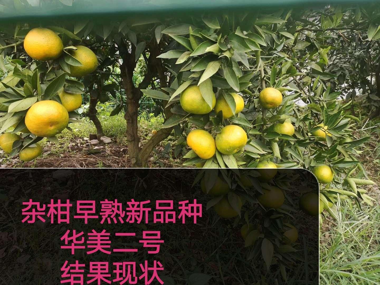 """""""小个头,大市场""""为何说华美2号将占一席之地 其他柑橘新品种 第3张"""