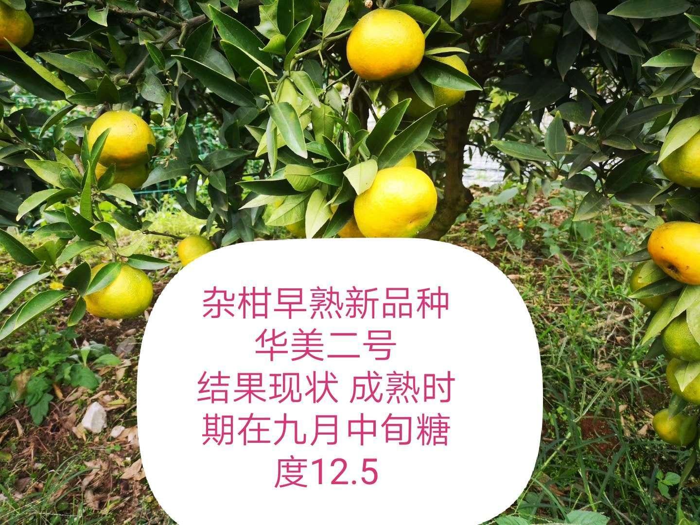 """""""小个头,大市场""""为何说华美2号将占一席之地 其他柑橘新品种 第4张"""