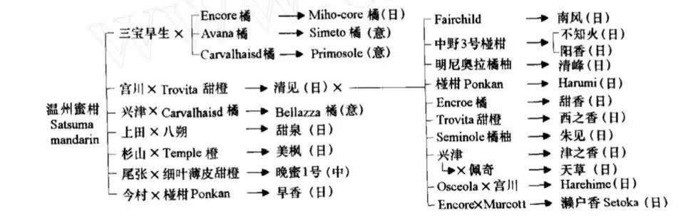 """又出柑橘新品种,日本柑橘品种""""红公主""""究竟是什么? 其他柑橘新品种 第5张"""